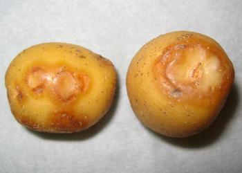Necrotic strain of PVY on Yukon Gold tuber, potatovirus.org
