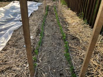 Frank Mangan's Home Garden April 24, 2020 with peas planted April 12