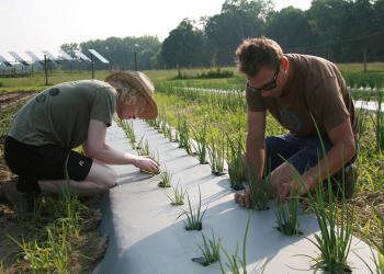 Undergraduate students, Jacob Goldman and Jason DePecol, hand-weed onions at Student Enterprise Farm