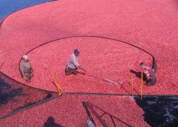 Harvesting cranberries at UMass Cranberry Station