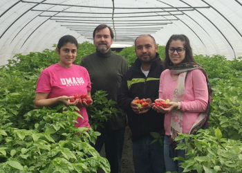 Zoraia Barros, Frank Mangan, Beto Godoy-Hernandez and Yasmin Del Rio, in a high tunnel of ají dulce at the UMass research farm in Deerfield.