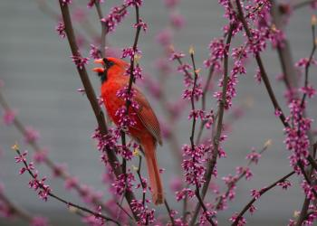 Male Cardinal, credit-Chris Wood at Macaulay Library, Cornell Lab of Ornithology