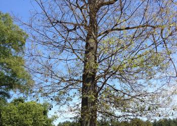 Gypsy moth damage to tree in Hanson, MA June, 2016. Photo by Deborah Swanson
