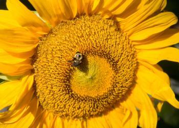Bumblebee pollinates sunflower. Ben Barnhart photo credit