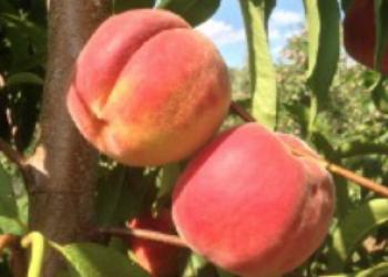tree-ripe peaches