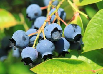 New England Small Fruit Management Guide, 2019-2020 edition.