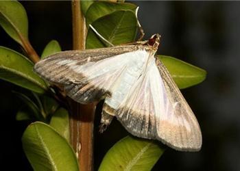 Boxwood moth
