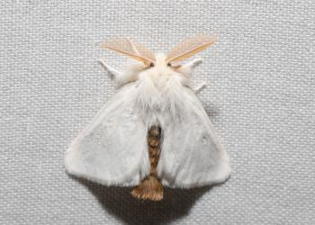 Adult browntail moth reported on 7/13/21 in Plymouth, MA. (iNaturalist by iandavies.)