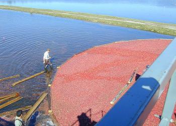 Corraling cranberry harvest