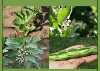 New guide for growing fava beans in Massachusetts