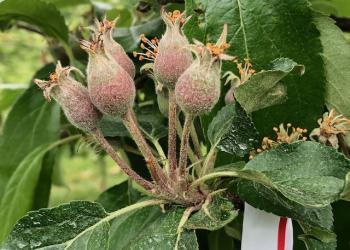 Gala apple fruitlets