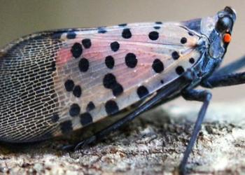 Adult Spotted Lanternfly. Photo credit: Lawrence Barringer, Pennsylvania Department of Agriculture