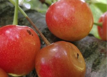 SWD on Cherries in 2017