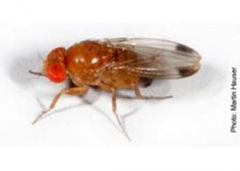 Male Spotted Wing Drosophila (Drosophila suzukii)