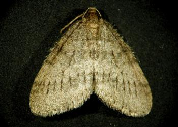 Winter Moth