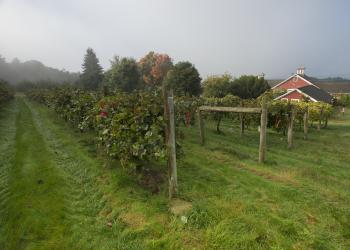 Wine grapes at UMass Cold Spring Orchard