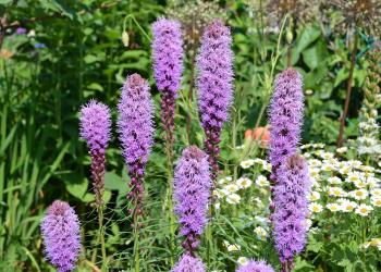Liatris spicata - Blazing Star, is the featured plant for August.