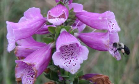 Common bumblebee visits foxglove flower