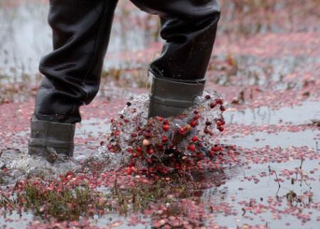 Cranberries in bog-Cape Cod Cranberry Growers Association photograph