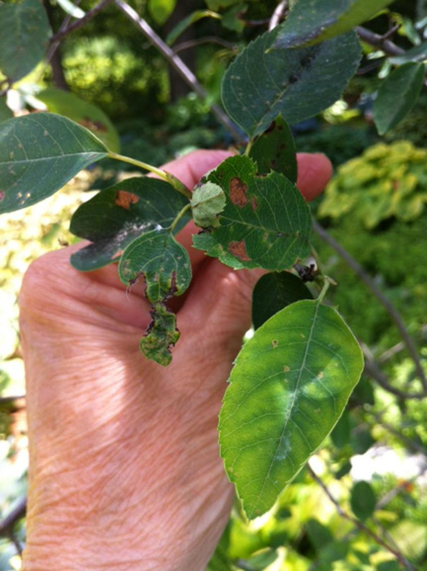 Closeup view of damaged Serviceberry plant leaves