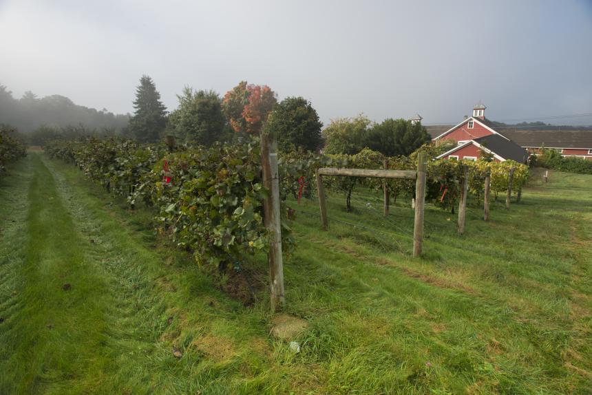 Wine grapes at UMass Cold Spring Orchard