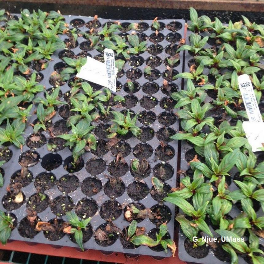 Cold temperature injury on New Guinea Impatiens cuttings