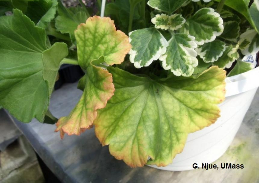 Nitrogen and magnesium deficiency on geraniums in greenhouse