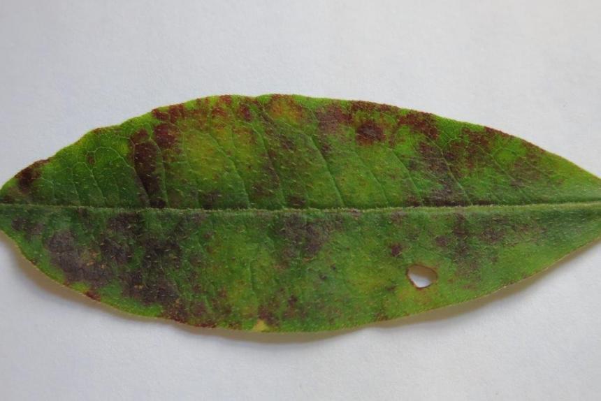 Diseased azalea leaf