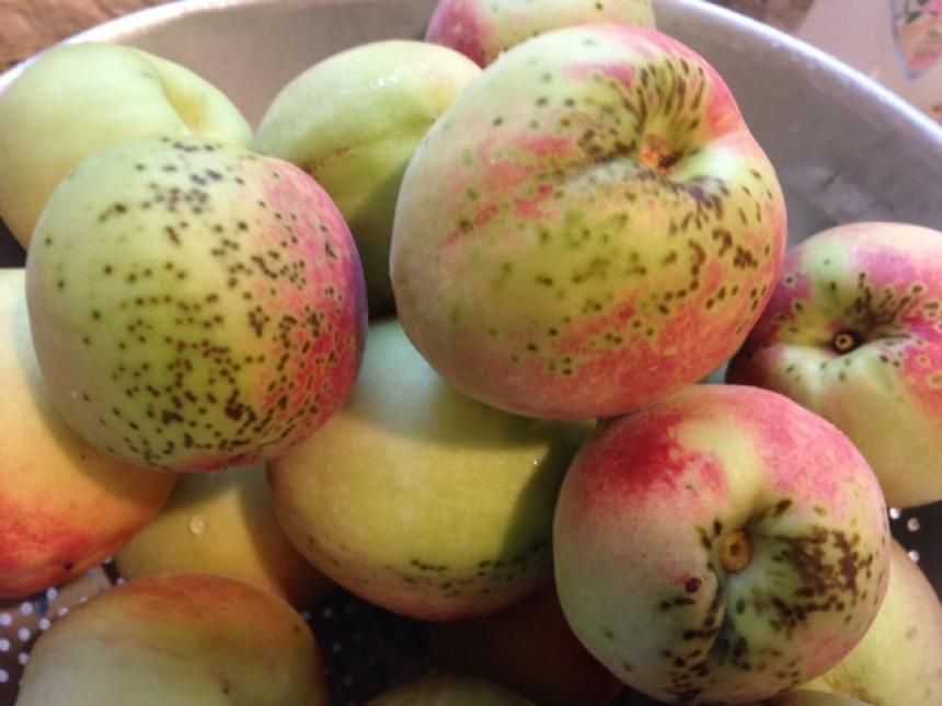 Peach scab caused by fungus