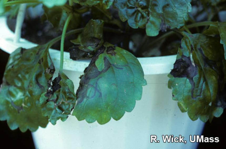 Alfalfa Mosaic Virus (AMV) on Swedish ivy