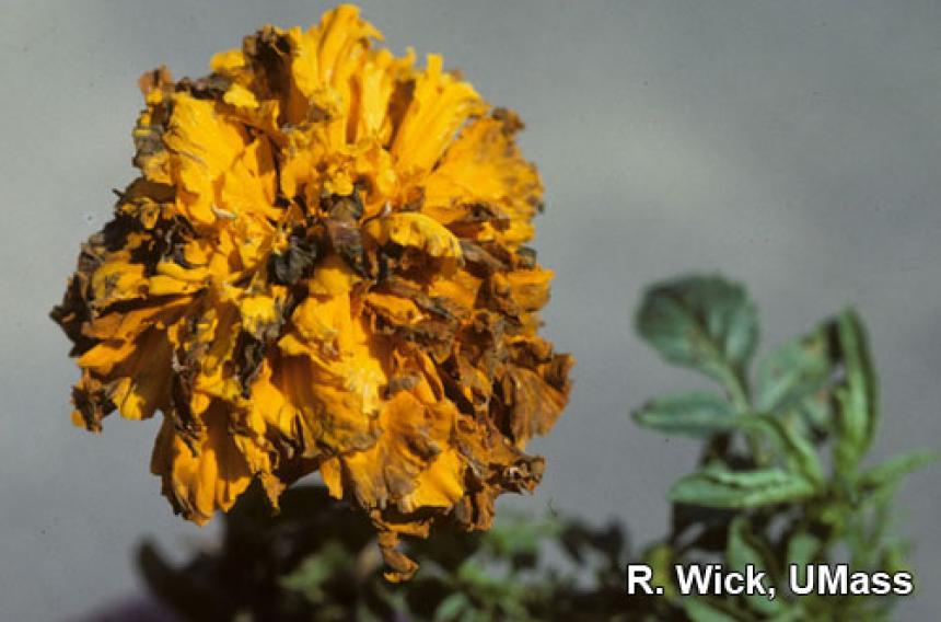 Alternaria Leaf Spot and Flower Blight on African marigolds