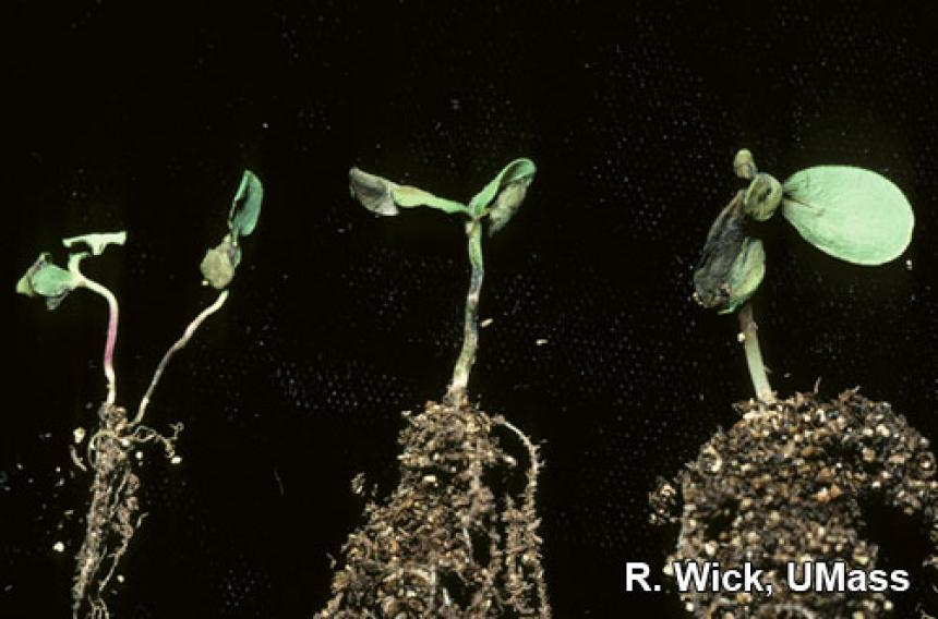 Alternaria Blight on zinnia seedlings