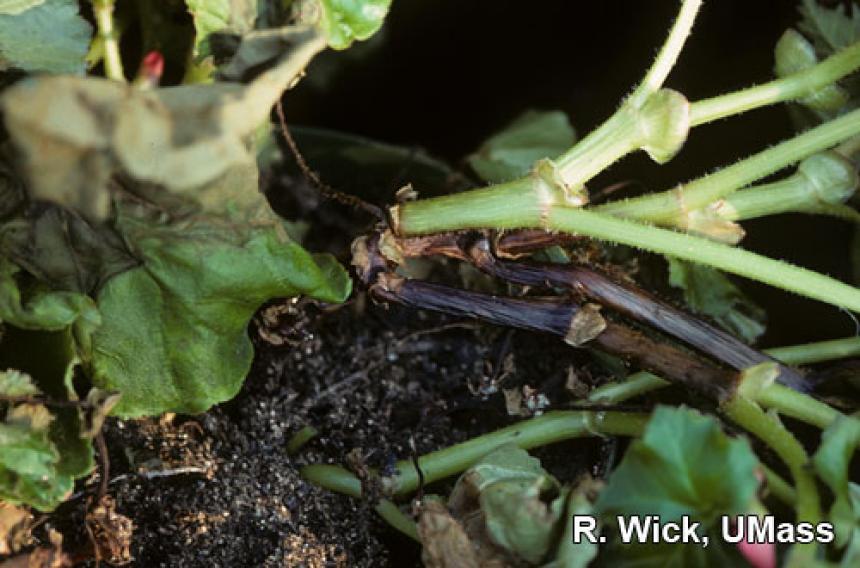 Black stem (Crown Rot) caused by Pythium