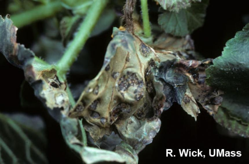 Bacterial leaf spot on Begonia (Xanthomonas campestris pv. begoniae)
