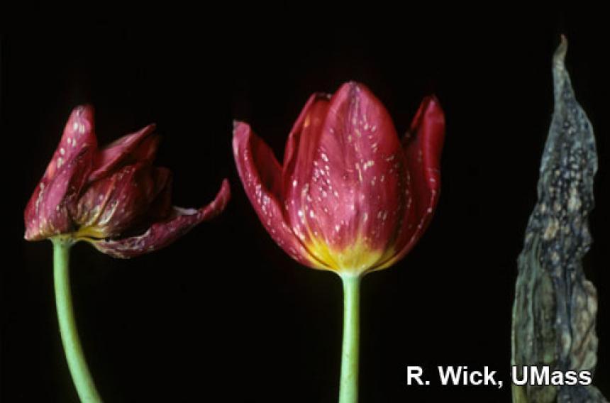 Botrytis tulipae on Tulip flowers