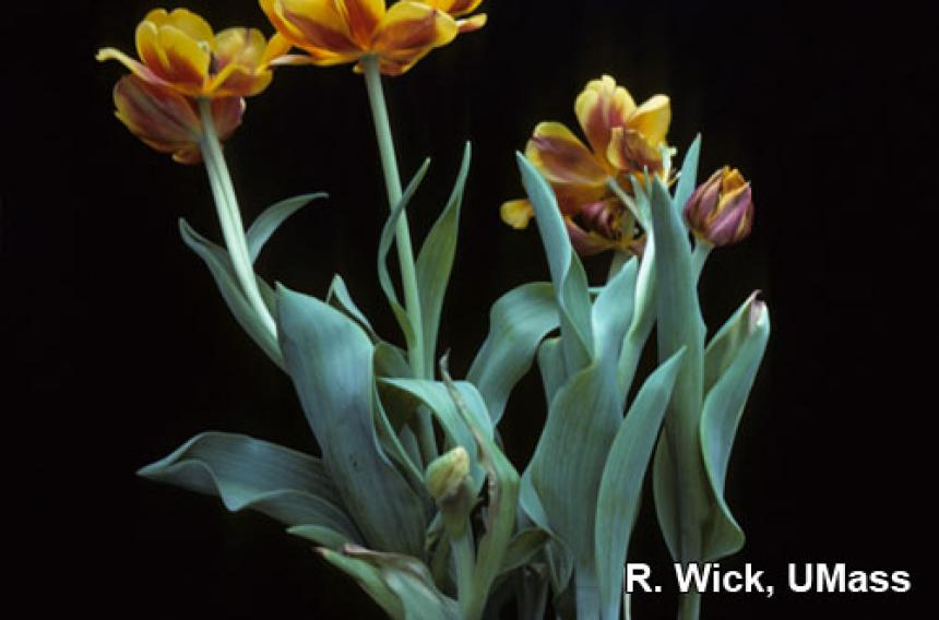 Bulb rot on Tulip caused by Botrytis tulipae