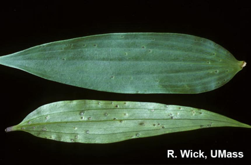 Hosta – Botrytis Leaf Blight
