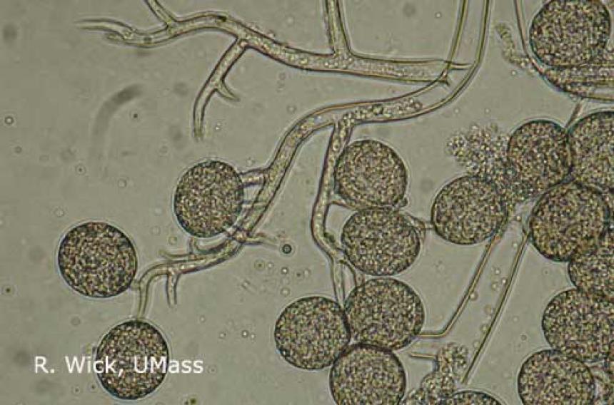 Downy mildew on coleus under the microscope