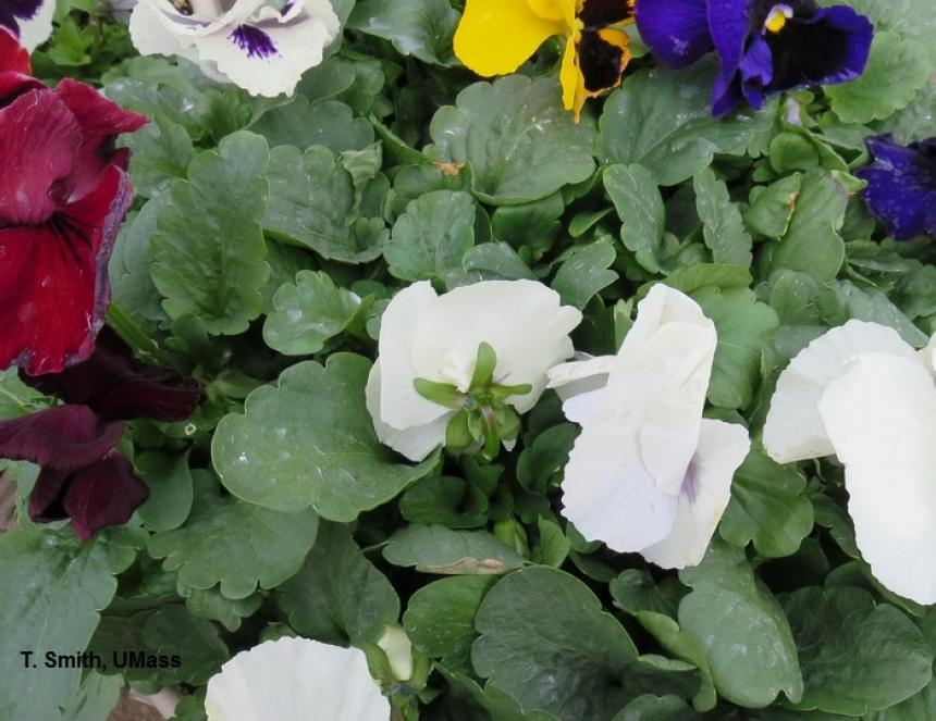 Fungicide Spray Residue on Pansy