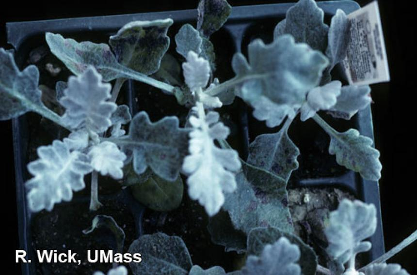 Dusty miller – Alternaria