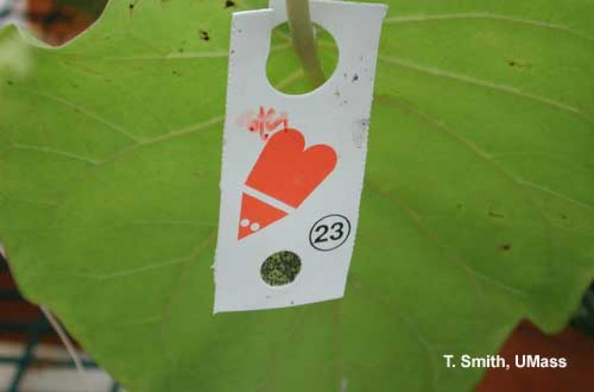 Encarsia formosa on Card