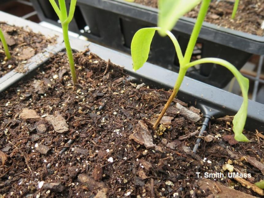 Damping off (Fusarium) on pepper seedling