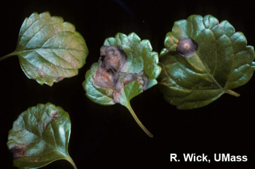 Swedish Ivy – Impatiens Necrotic Spot Virus (INSV)