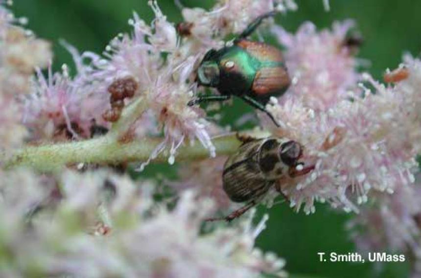Japanese and Oriental Beetles