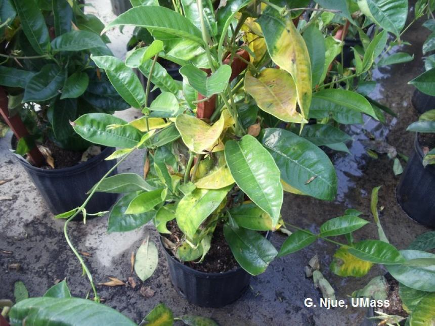 Anthracnose symproms on Mandevilla