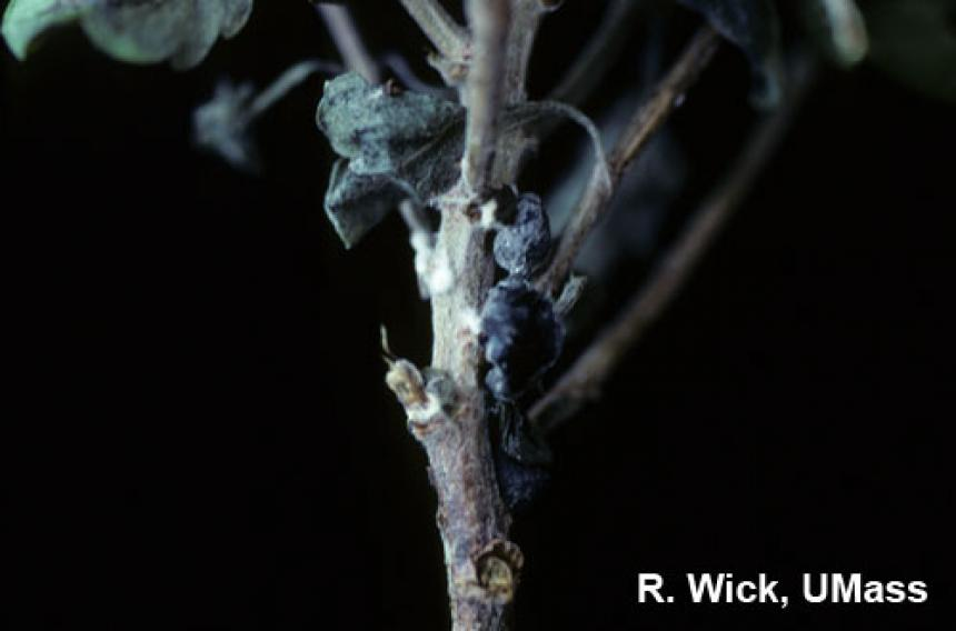 Chrysanthemum – Sclerotinia Stem Rot