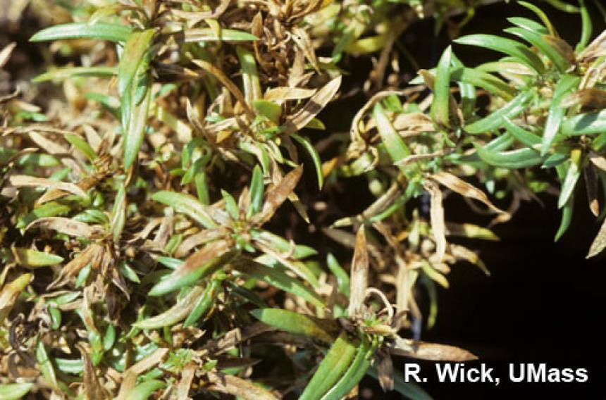 Phlox – Bulb and Stem nematodes (Ditylenchus species)