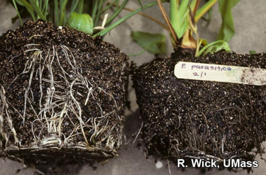 Gardenia – Phytophthora root rot