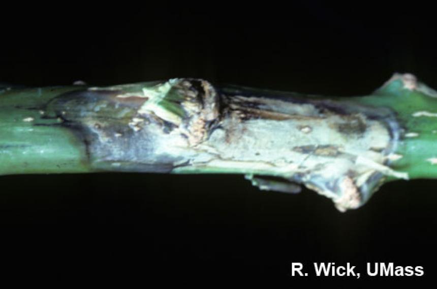 Botrytis stem canker on poinsettia