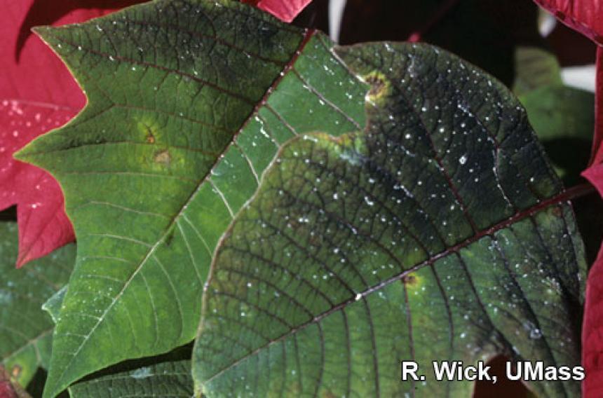 Botrytis Leaf Spot on Poinsettia